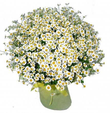 Доставка цветов ромашки москва комнатные цветы фото и названия купить семена